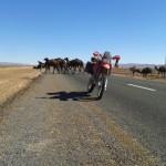 marruecos camellos