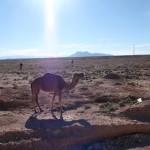 Camellos en el Atlas Medio
